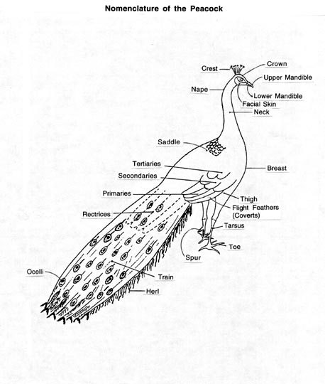 Descriptive Terms for Peafowl