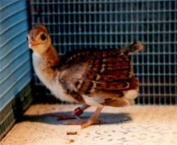 India Blue Dark Pied Chick