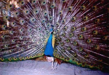 India Blue Male