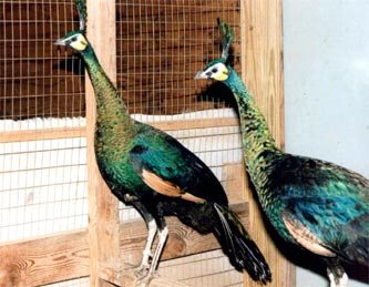 Peafowl Housing