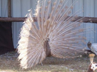 Peach Peafowl