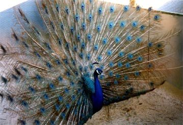 United Peafowl Variety List