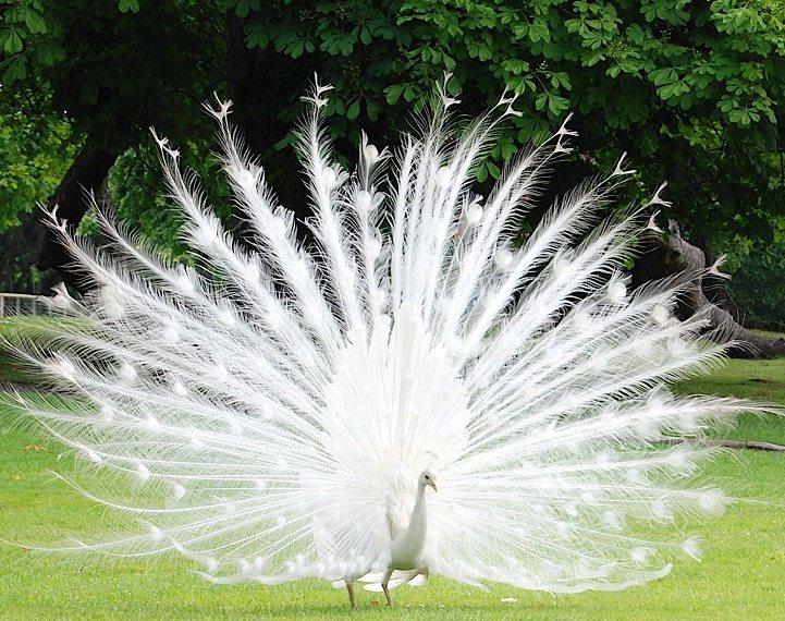 United Peafowl Organization | Peafowl org Sep 2019